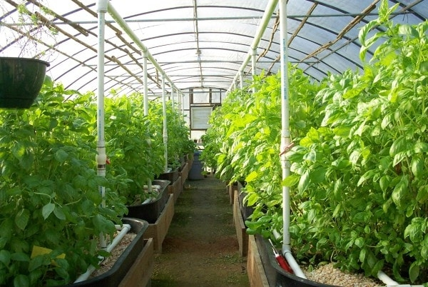 Greenhouses are used to grow crops like tomatoes in areas that suffer from frost or during winter.