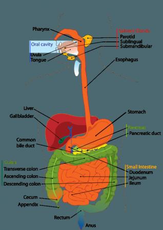 digestive_system_-min