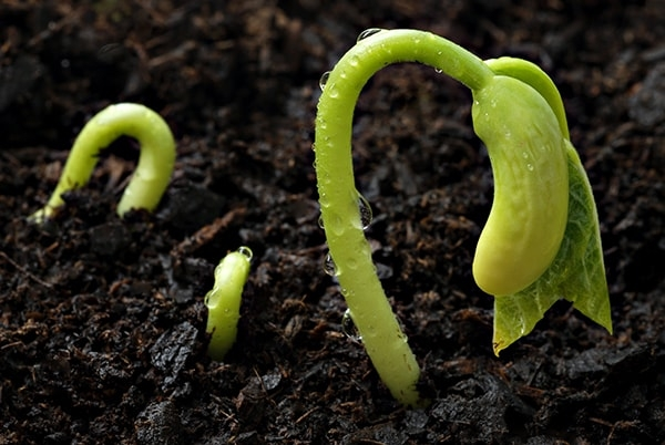 Germinating seeds. Image credit hummert.com