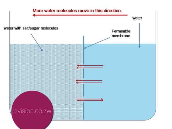 When sugar is added to the left side of the partition more water molecules move there.