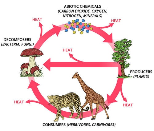 photosynthesis and cellular respiration recycle oxygen in ecosystems Biogeochemical cycles teacher's instructions: 1) prep the students by talking about how ecosystems recycle resources and ask the students to think of all the things an ecosystem recycles - guide their answers to biomass.
